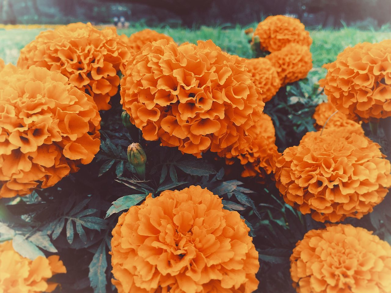 Flower Orange Color Fragility Freshness Flower Head Marigold No People Close-up Beauty In Nature Nature Outdoors Day Flower Market IPhone Garden Dahlia