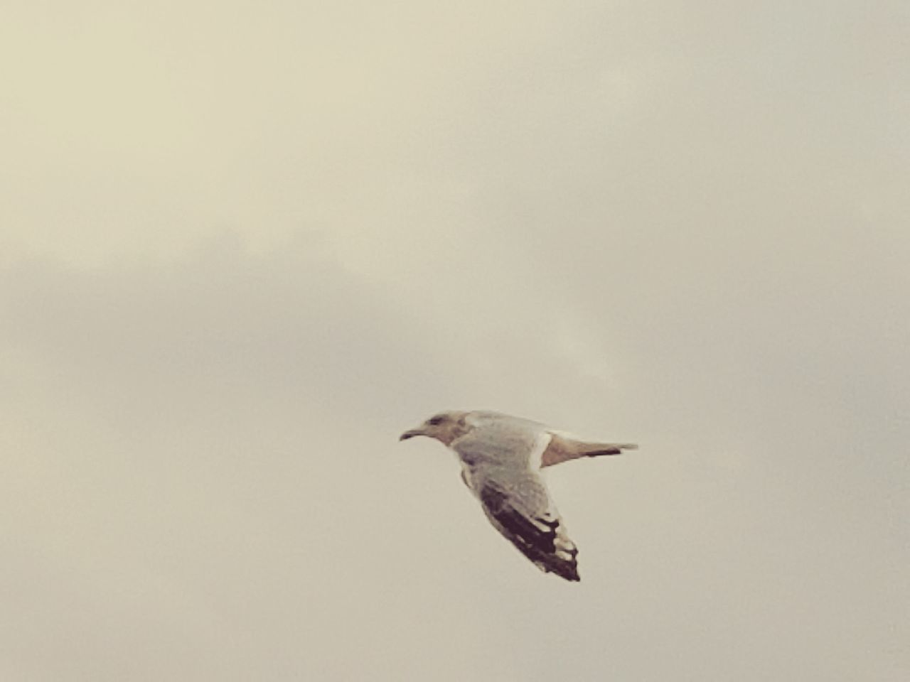 Flying Bird Spread Wings Mid-air One Animal Animal Wildlife Animals In The Wild Freedom Animal Themes Nature Motion No People Outdoors Day Sky