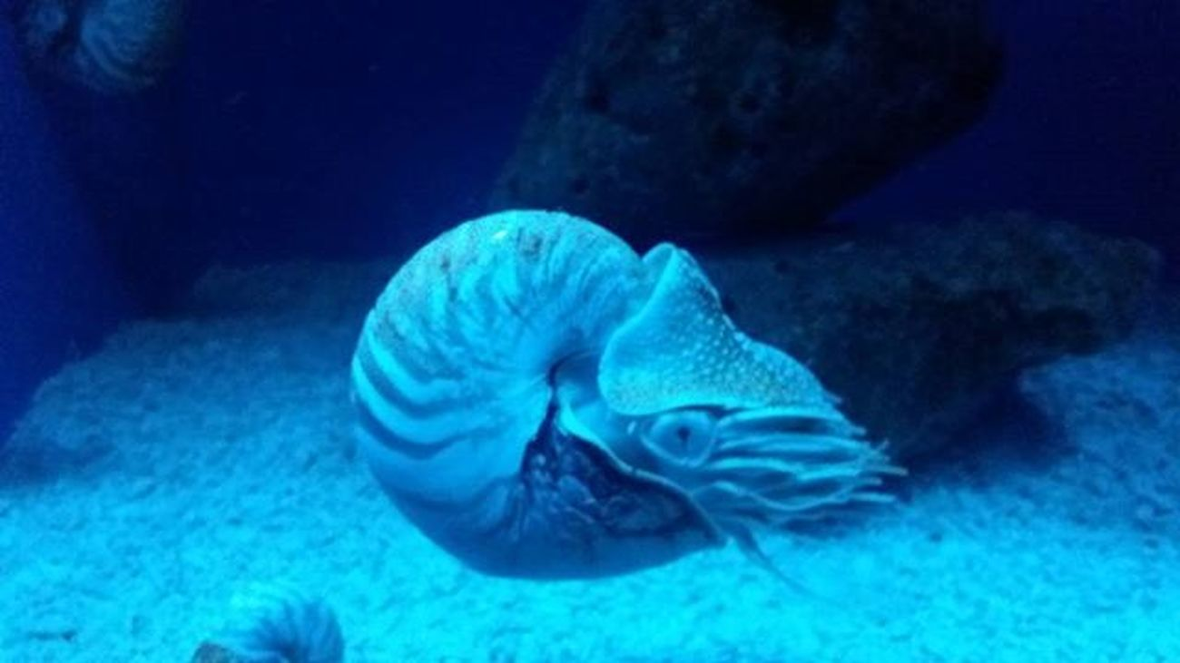 Nautilus💦💦🌊 Latepost Manilaoceanpark Ynasadventure Photographie  Instaphoto Selcam Photography Trip Nautilus Nautilida Instapic Photograph Mollusca Animalia
