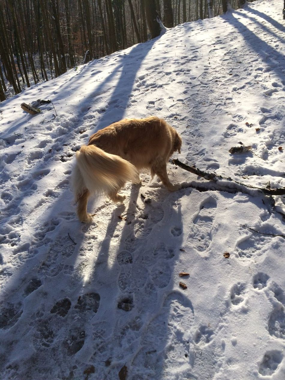 Odenwald  Dog Snow Have A Walk