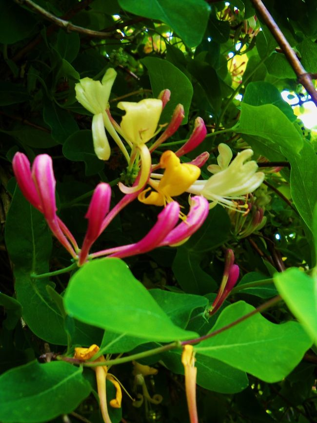Honeysuckle at Adare village park in Ireland Beauty In Nature Blooming Blossom Bud Close-up Flower Flower Head Focus On Foreground Fragility Freshness Green Green Color Growth Honeysuckle Honeysuckle Flower Honeysuckle Vine In Bloom Leaf Nature Petal Pink Pink Color Plant Stem Yellow