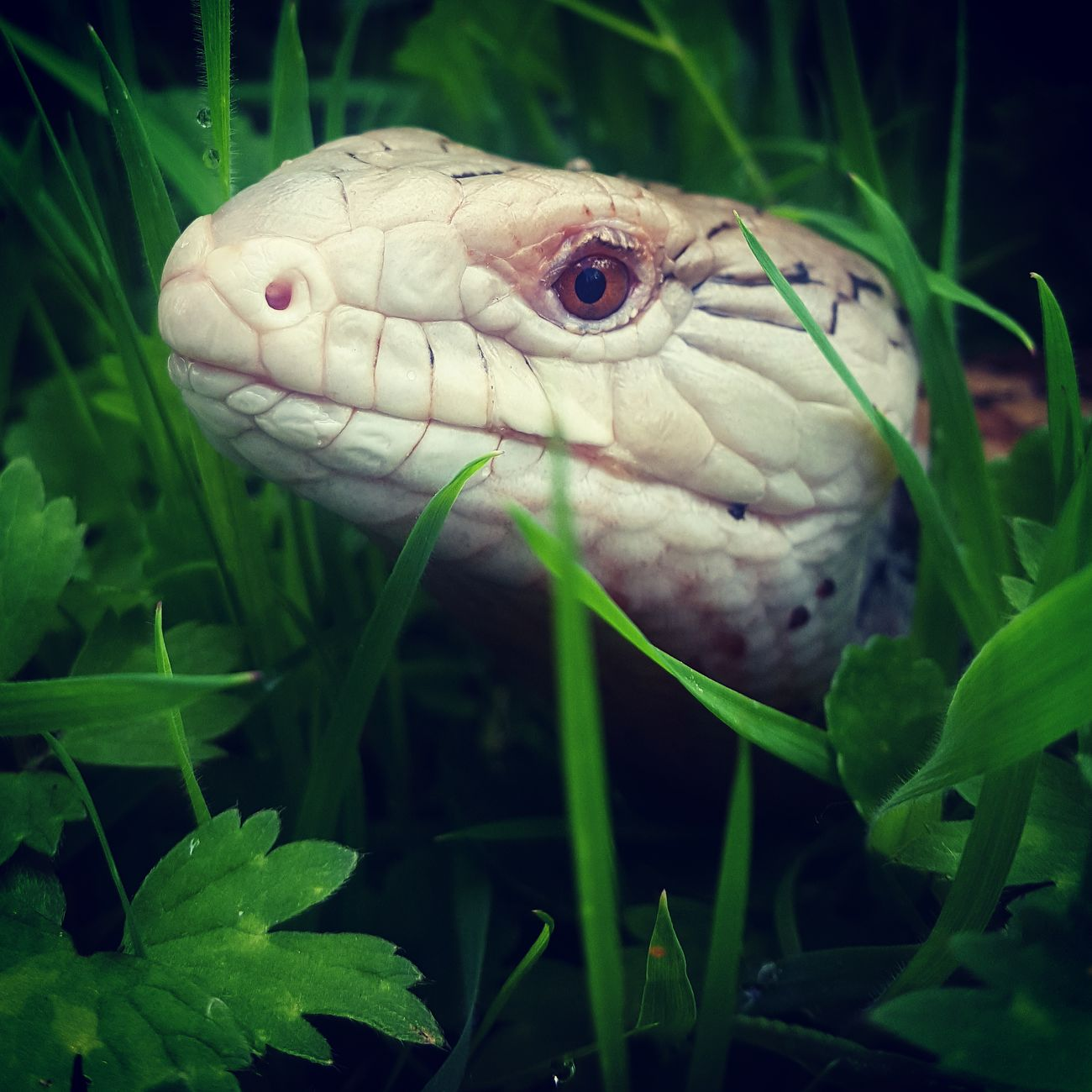 Pets Animal Close-up Reptile Lizard Bluetongueskink Exotic Pets Animal Photography Animal Lover