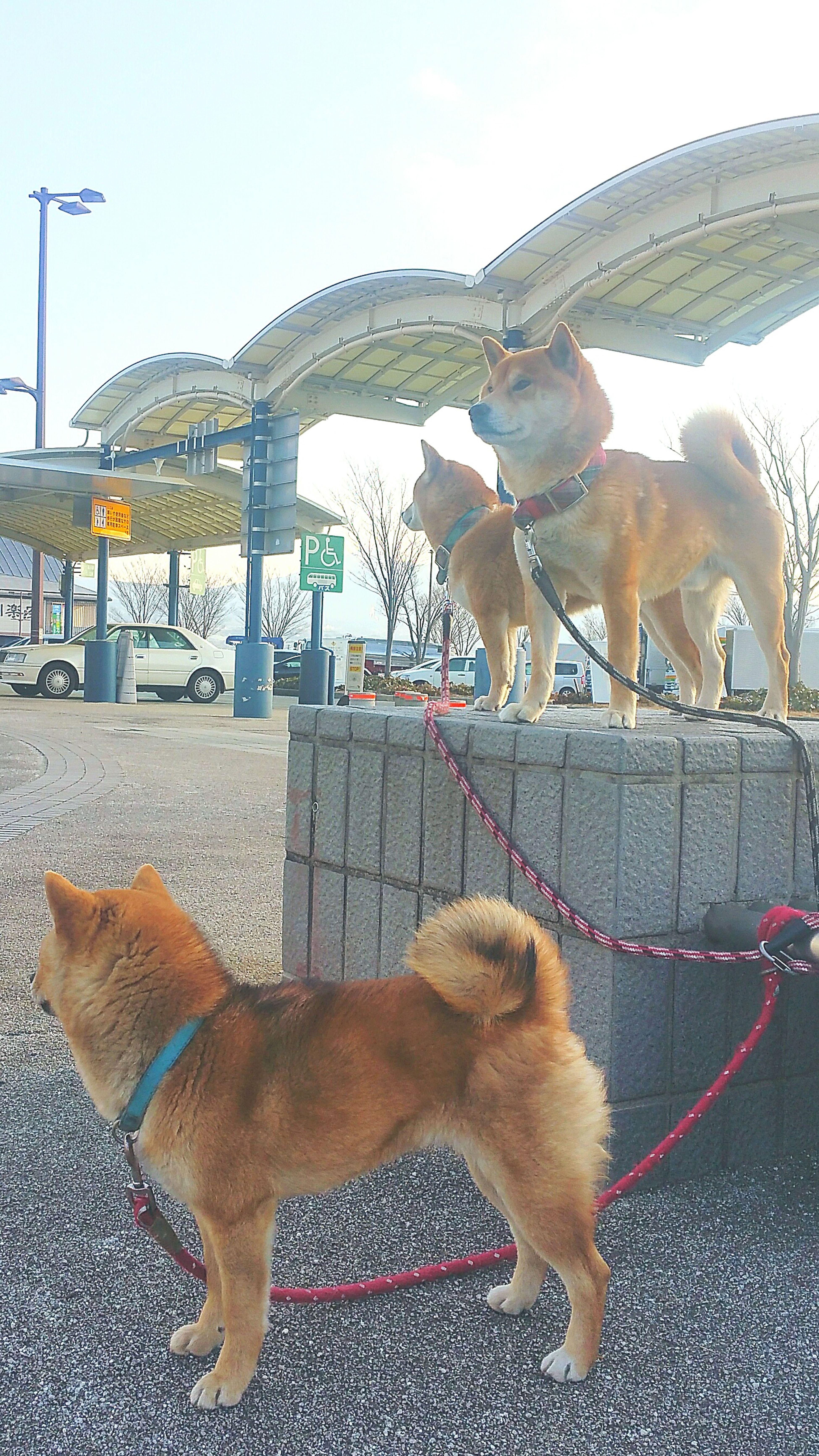 わんこのお散歩は息子達の役目なのですが、ここのところ時間的な余裕があるので、私が行っております。今朝のパトロールの様子。上の左が母イヌ奈々、右が父イヌ駆、下にいるのが二人の子供なっつ。立ち姿が柴犬、凛々しい! 柴犬 柴犬なっつ Shiba Inu Dog Pets Good Morning おはようございます Hello World 富士市 富士川SA 今日もhappy お散歩