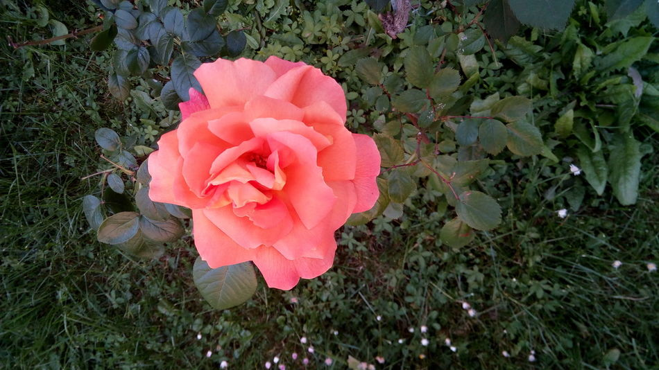 Flower Plant High Angle View Nature Growth No People Petal Outdoors Day Beauty In Nature Wild Rose Leaf Blooming Close-up Flower Head Freshness EyeEm Nature Lover EyeEm Gallery Red Freshness Pink Color Fragility Rose - Flower Beauty In Nature Nature