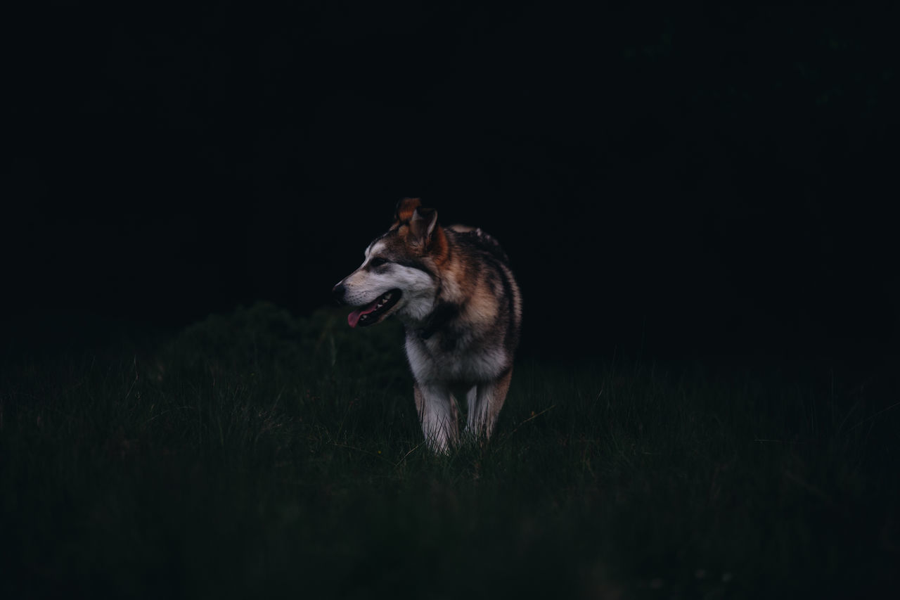 Animal Themes Black Background Dog Dogs Of EyeEm Domestic Animals EyeEm Nature Lover Field Full Length Grass Husky Live For The Story Livestock Malamute Mammal Nature Nature Nature_collection Night No People One Animal Outdoor Photography Outdoors Pet Pets The Great Outdoors - 2017 EyeEm Awards