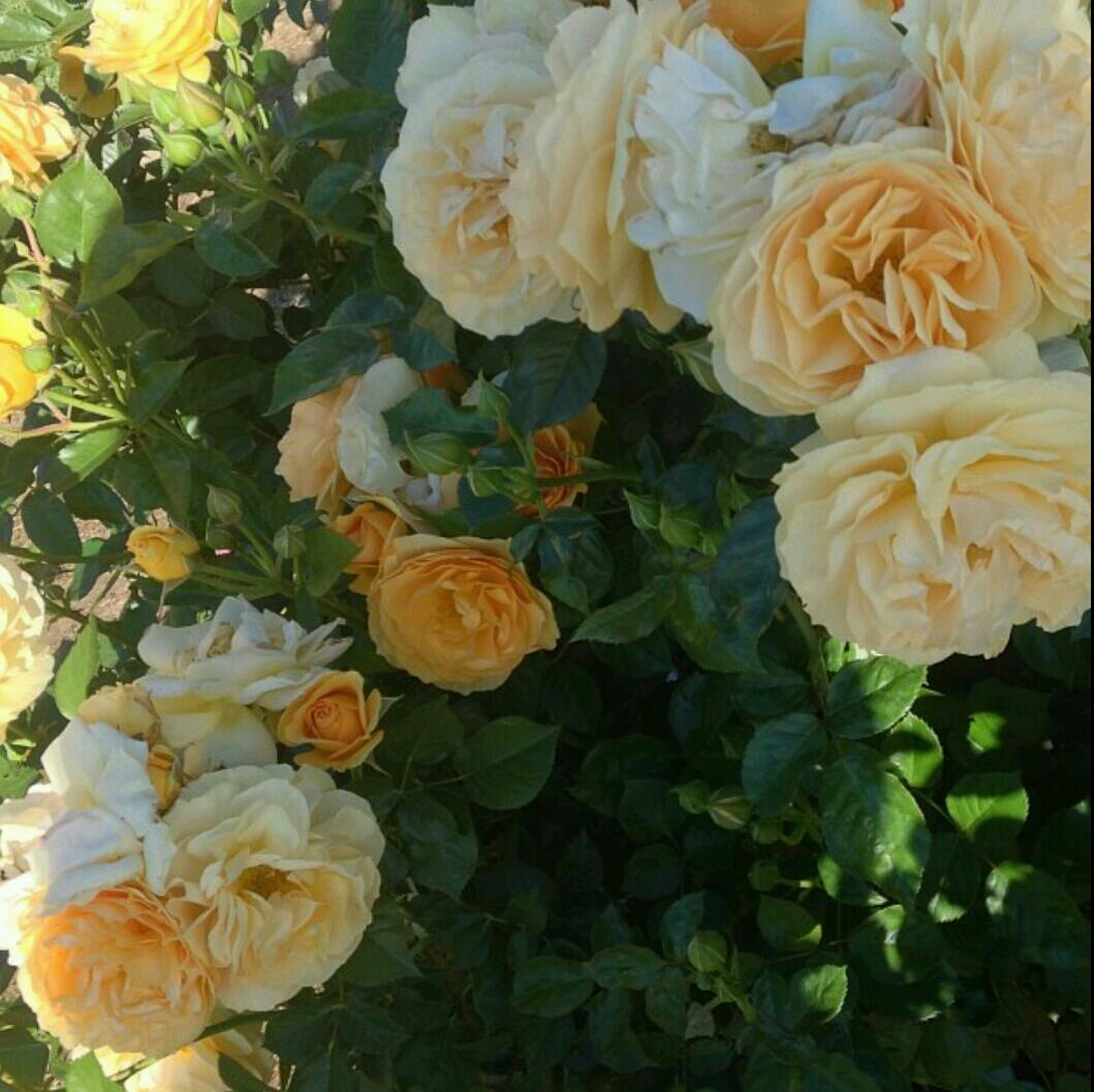 flower, freshness, petal, fragility, flower head, beauty in nature, growth, blooming, high angle view, nature, rose - flower, plant, leaf, close-up, in bloom, full frame, yellow, blossom, bunch of flowers, orange color