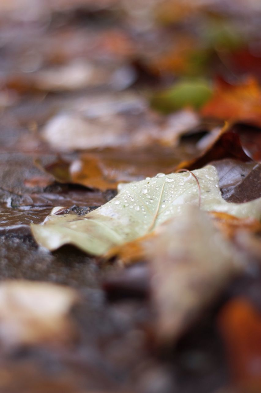 selective focus, leaf, change, no people, close-up, nature, autumn, backgrounds, food, indoors, day, beauty in nature, freshness