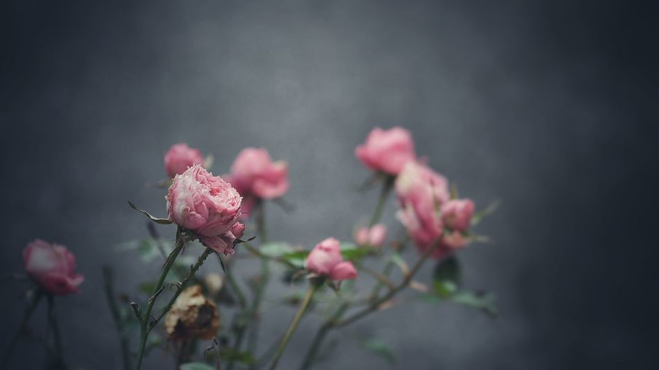 Beautiful stock photos of rosen, Beauty In Nature, Blooming, Close-Up, Day