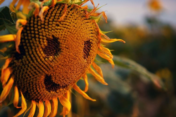 Smile Smiley Face Tournesol Sunflower Sunflower🌻 Sunset_collection Sunset Flowerporn Flower Nature Photography Nature Summertime Summer Flower Porn Color Of Life Colour Of Life Country Countryside Summer Views My Year My View Be Happy