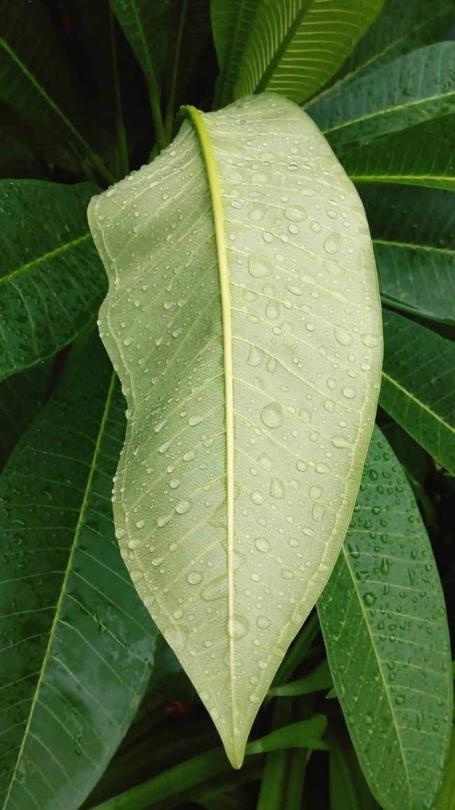 A Birds Eye View Leaves Leaves🌿 Leaves_collection Nature Popular Rain Drops Rain Drops On Leaves Leaf Veins