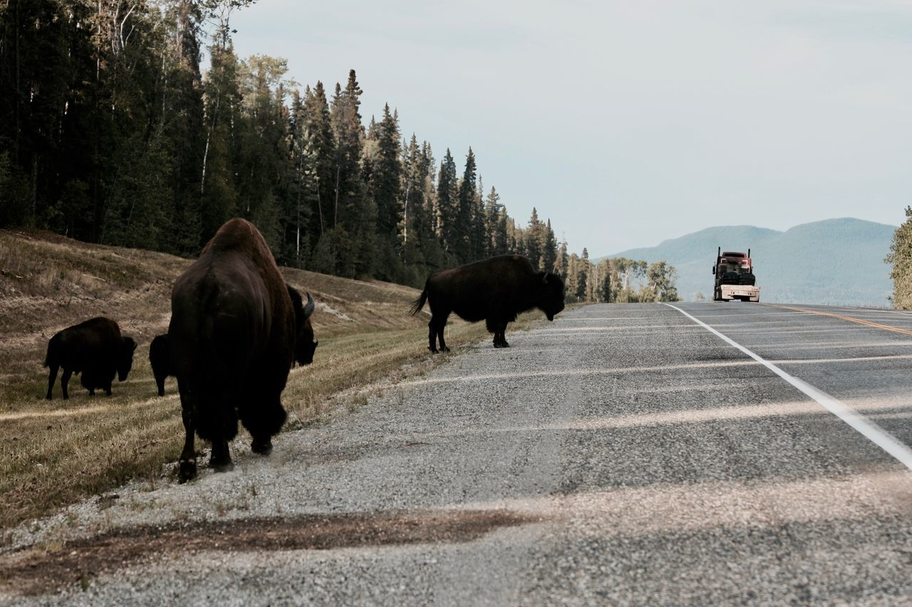 Adventure Bison Roadtrip Truck Yukon Territory