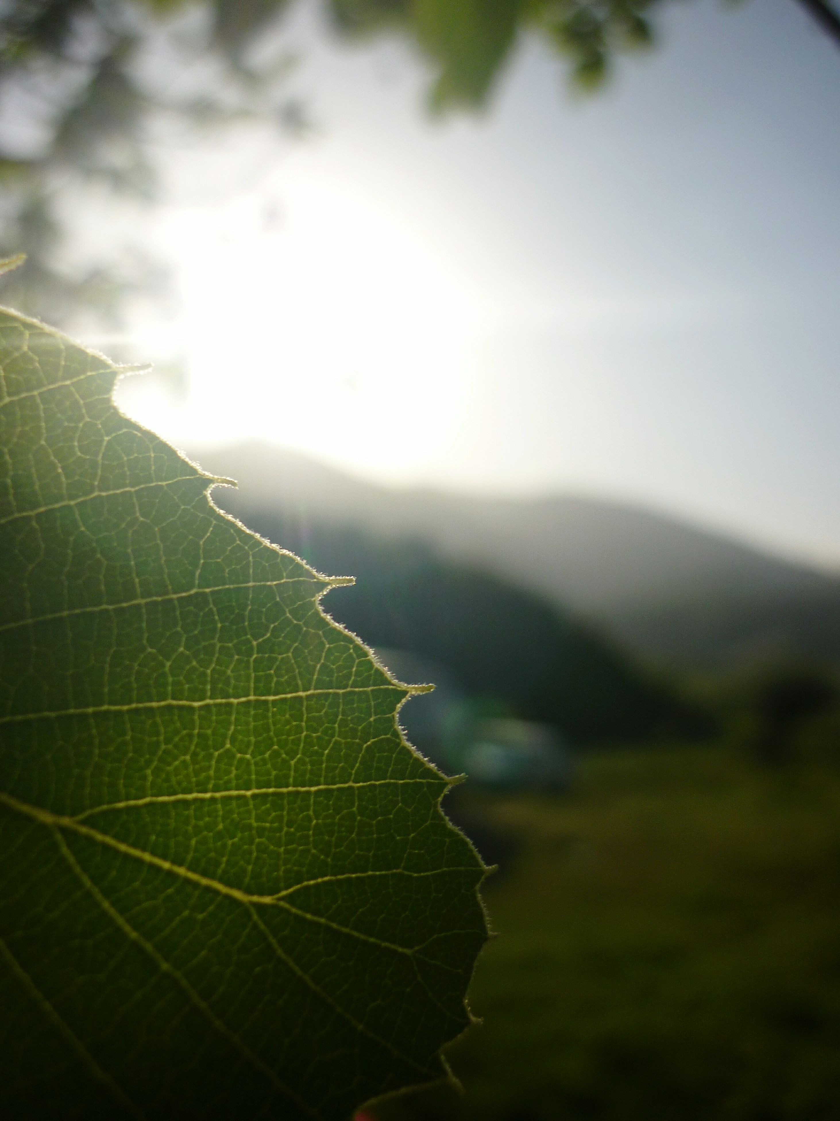 leaf, sun, sunlight, green color, nature, tranquility, focus on foreground, sky, growth, beauty in nature, close-up, sunbeam, lens flare, tranquil scene, plant, leaf vein, outdoors, no people, scenics, day