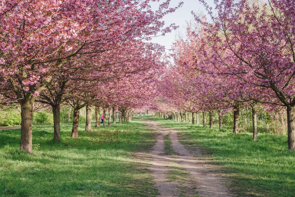 pink japanese cherry tree blossoms against blue sky Almond Tree Beauty In Nature Blossom Blue Sky Branch Copy Space Flower Green Grass Growth Japanese Cherry Blossom Tree Japanese Cherry Blossoms Japanese Cherry Tree. Nature No People Orchard Outdoors Pink Blossoms Pink Color Road Scenics Spring Spring 2017 Spring Flowers Springtime Tree