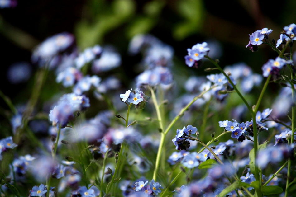 Beauty In Nature Blooming Close-up Flower Fragility Freshness Growth In My Garden Nature Outdoors Plant Purple Flowers Selective Focus Forget-me-not Forget Me Not