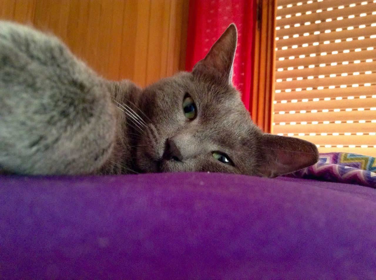 domestic cat, pets, one animal, animal themes, domestic animals, feline, mammal, indoors, cat, relaxation, lying down, resting, bed, no people, purple, whisker, home interior, close-up, bedroom, day