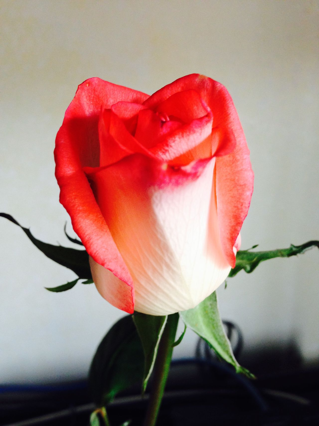 White and red rose Flower Petal Fragility Beauty In Nature Flower Head Nature Growth Freshness Close-up Plant Rose - Flower Blooming Red No People Indoors  Botany Botanical One Flower Vertical Colour Image