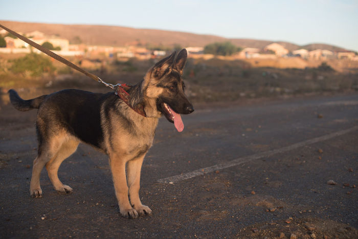 Bambino Alsatian Animal Themes Canine Dog Domestic Animals Full Length German Shepherd Mammal Nature No People One Animal Outdoors Pet Pets Puppy