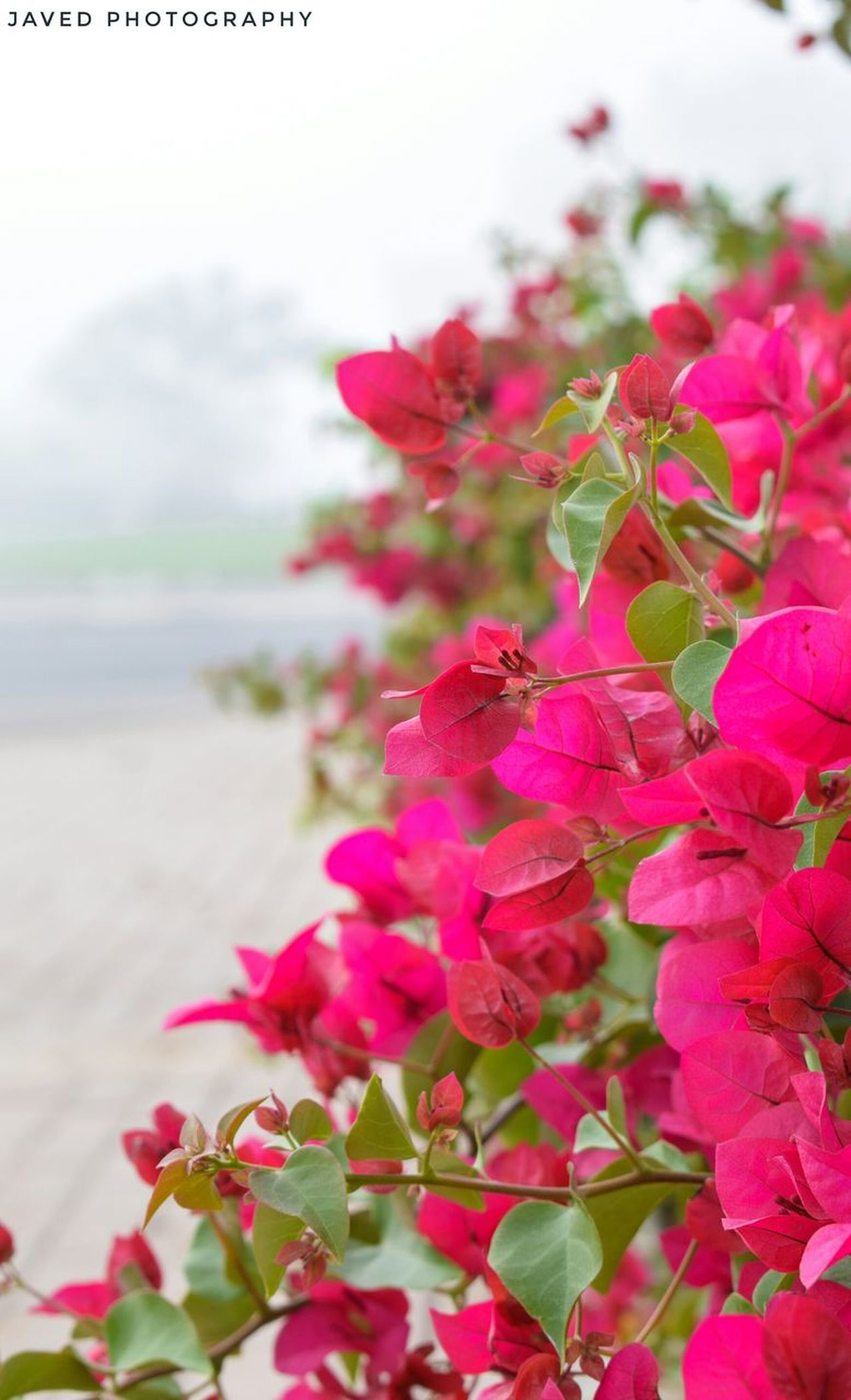 Beauty of Bougainvillea! Flower Nature Pink Color Beauty In Nature Plant Close-up Freshness Focus On Foreground Outdoors Fragility Flower Head Bougainvillea No People Day Garden Bees Flower Collection Beauty EyeEm Best Shots Eyem Gallery EyeEm Nature Lover