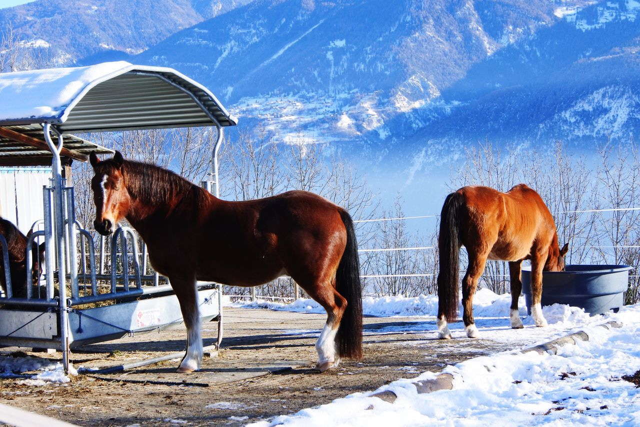 domestic animals, horse, animal themes, mammal, day, livestock, outdoors, sky, standing, nature, snow, no people