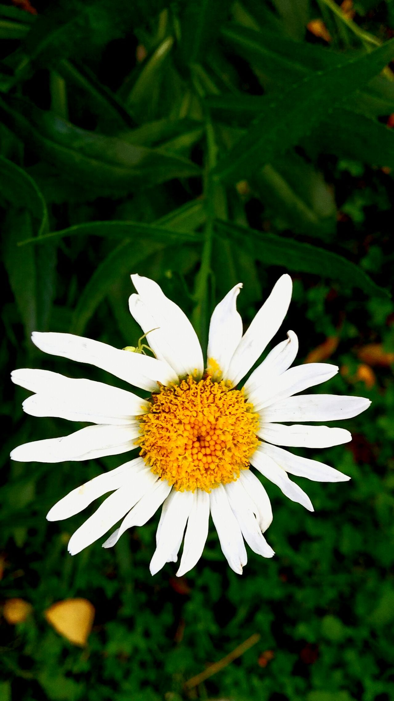 LGg3photography LG G3 Nature Lover Nature_collection Nice Day Nature Grass Flower Beauty In Nature Green Color Plant Flower Head Summer Camomile Camomile White Petals Greenspider Naturallove