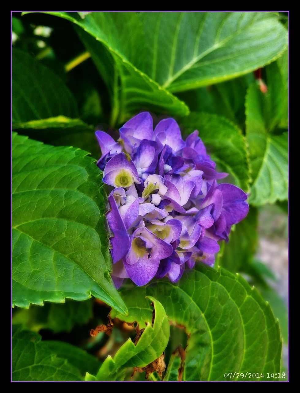 leaf, purple, flower, growth, fragility, beauty in nature, plant, nature, freshness, petal, green color, day, outdoors, close-up, no people, flower head, blooming