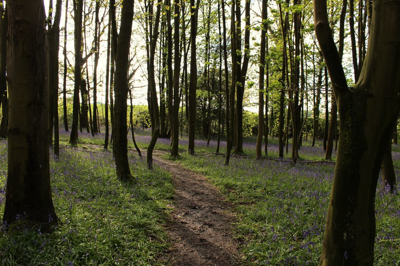 Bark Bluebell Bluebell Wood Bluebells British Forest Forest Photography Forest Trees Greenery Landscape Lines Natural Nature Path Pathway Spring Tree Tree_collection  Trees Wood Woods