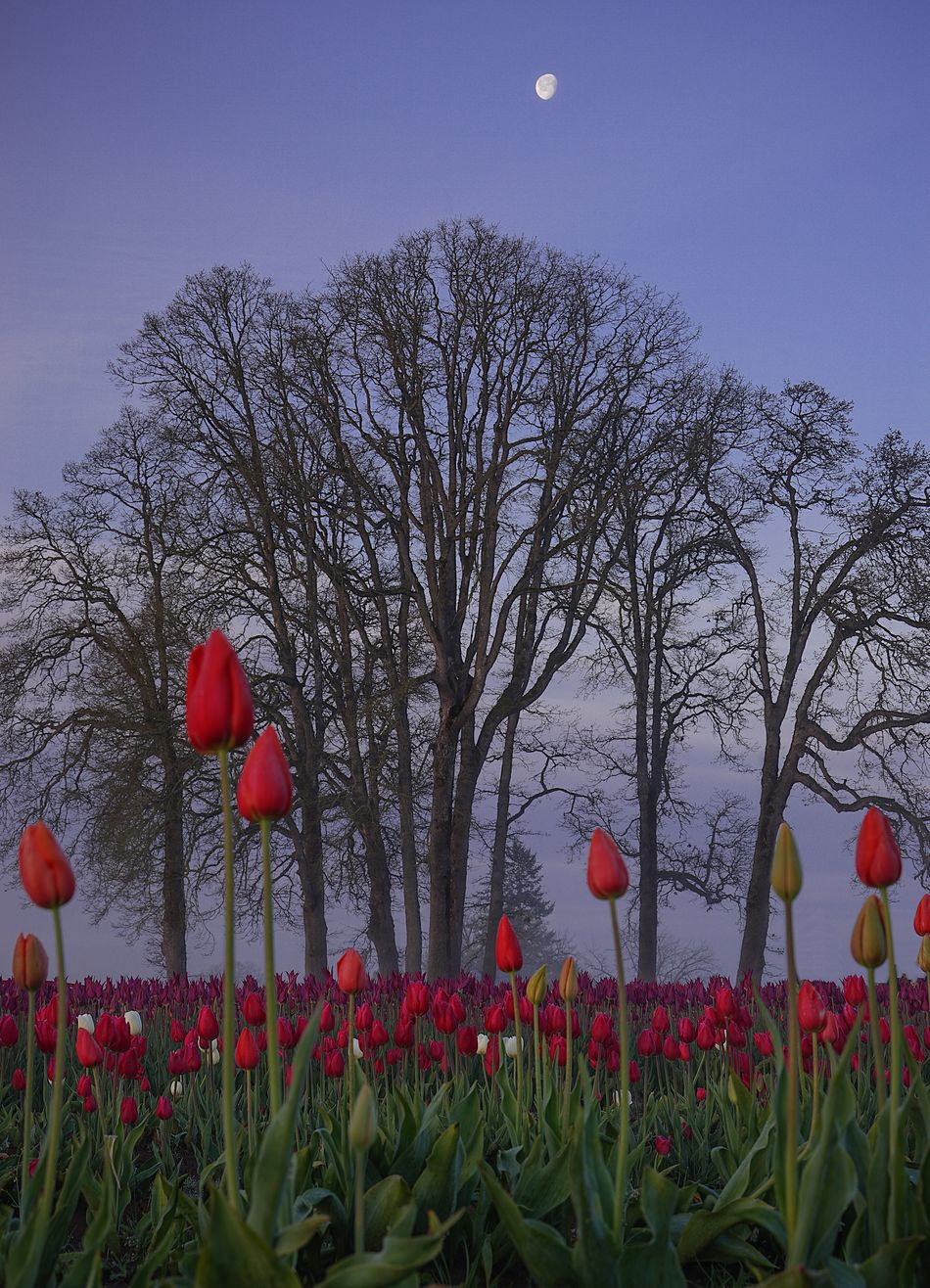Red Flower Beauty In Nature Growth Nature Moon Outdoors Sky Poppy Low Angle View Plant Day No People Fragility Freshness Close-up Tulips In The Springtime Oregon