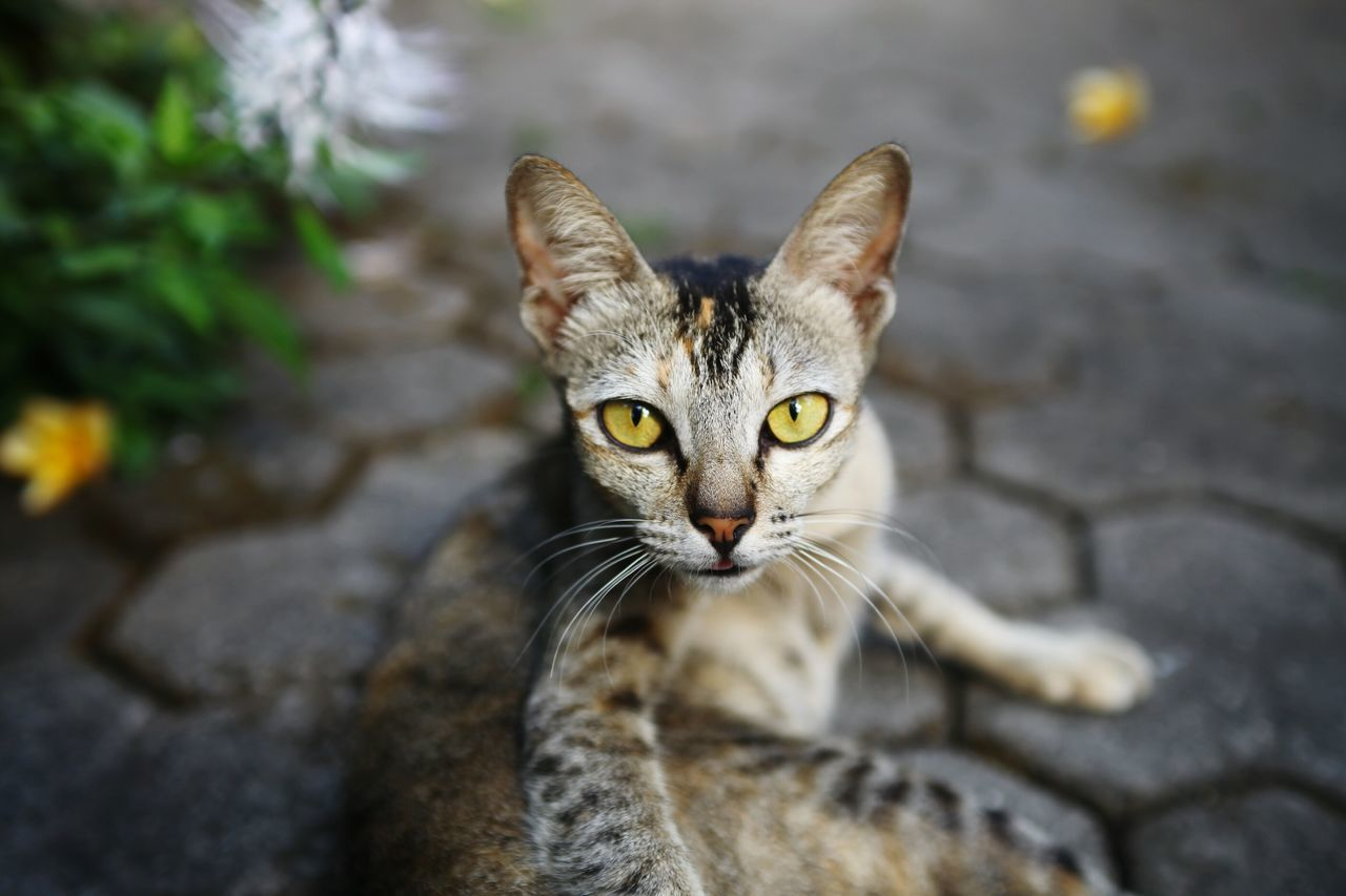Close-Up Portrait Of Cat Relaxing On Footpath