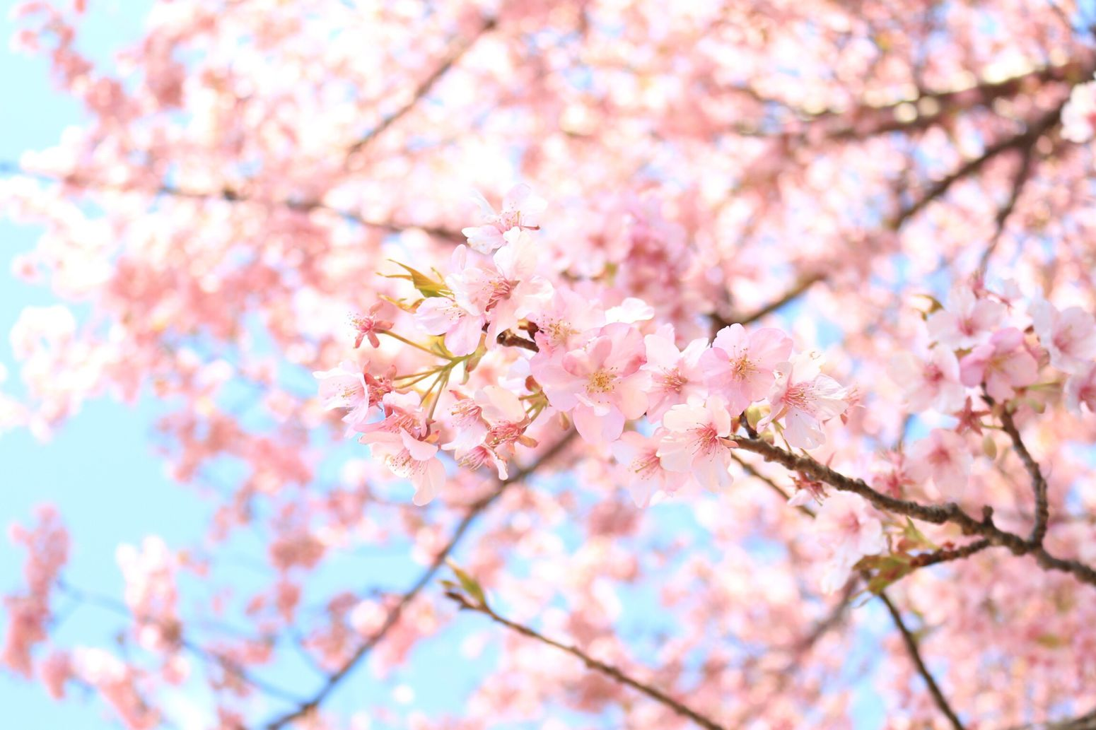 Loveさくら祭り Flower Springtime Nature Beauty In Nature Blossom Pink Color Cherry Blossom 河津桜 桜 せっかく咲き始めたのにアメ…