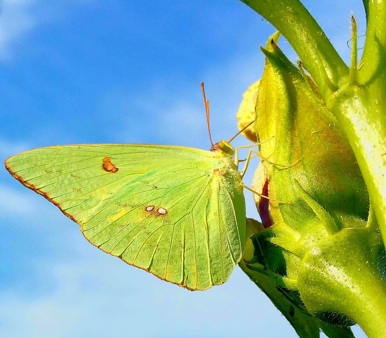 Insect One Animal Animal Themes Animals In The Wild Wildlife Leaf Low Angle View Close-up Butterfly - Insect Butterfly Green Color Yellow Blue Leaf Vein Focus On Foreground Dragonfly Sky Green Perching Animal Wing Insects  Insectinplants No Filter