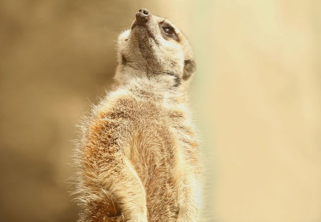 Animal Nose Beauty In Nature Looking Up Mammal Meerkat Nature One Animal Outdoors Surikata