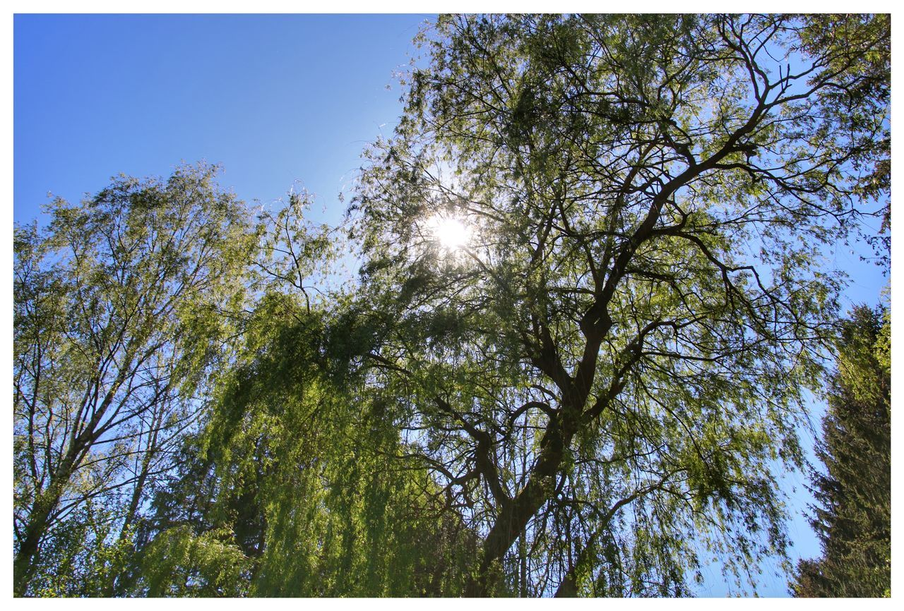 tree, nature, branch, outdoors, low angle view, day, clear sky, tranquility, growth, no people, forest, beauty in nature, sky
