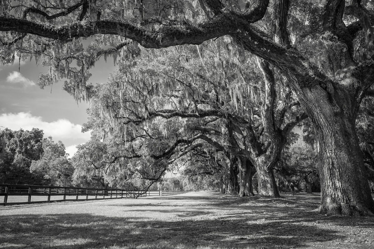 Avenue Of The Oaks Boone Hall Plantation Sc South Carolina Live Oaks Tree_collection  EyeEm Nature Lover Blackandwhite Bw_collection Blaco Y Negro Eye4black&white  Nikon