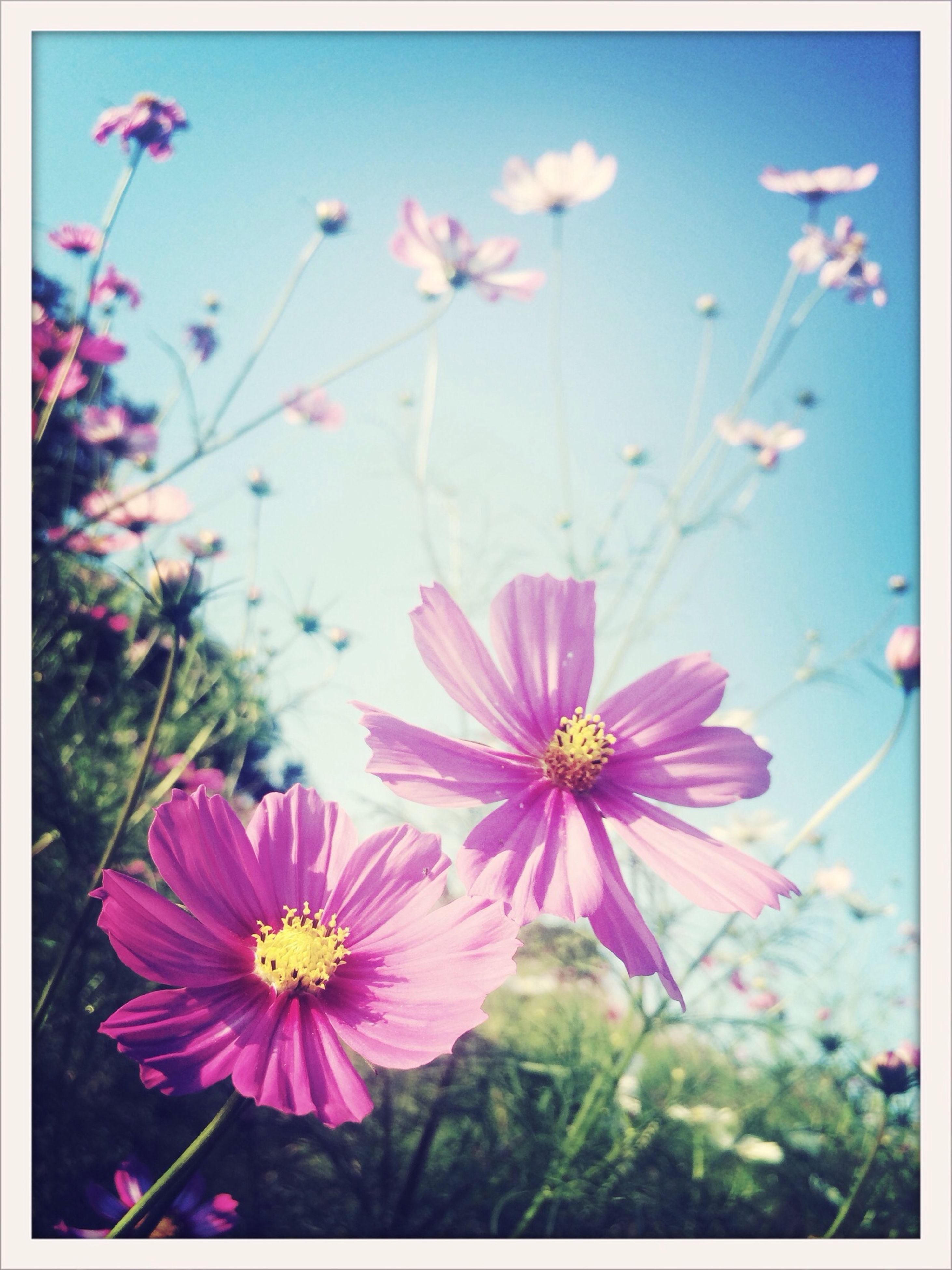 flower, freshness, petal, fragility, flower head, transfer print, growth, beauty in nature, blooming, pink color, auto post production filter, nature, plant, focus on foreground, in bloom, close-up, stem, pollen, blossom, purple