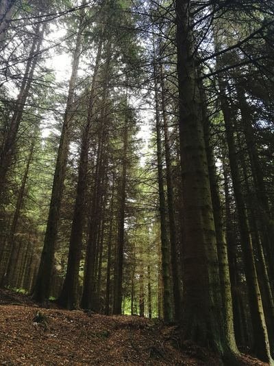 Forrest Walk Scotland Tree Forest Nature Tree Trunk WoodLand Beauty In Nature Outdoors Wilderness Area No People Tranquility Low Angle View