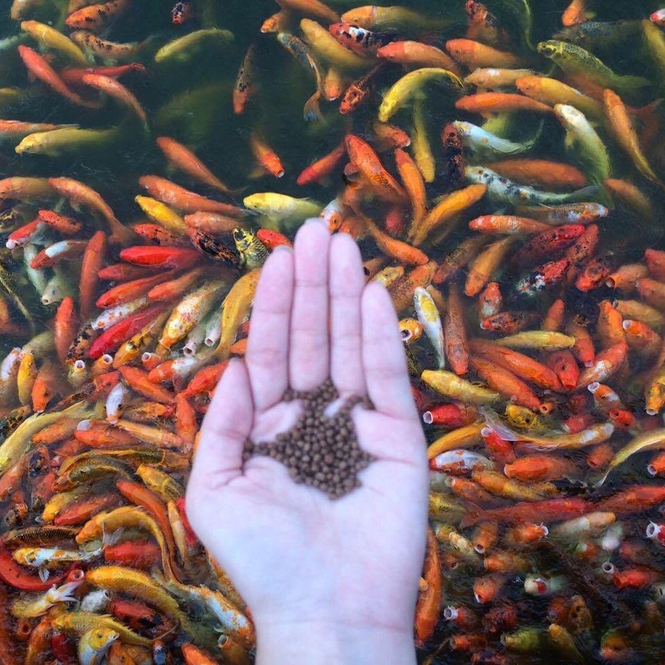 Fish feeding Fish Koi Fish Koi Nuvaliph Hand Colored