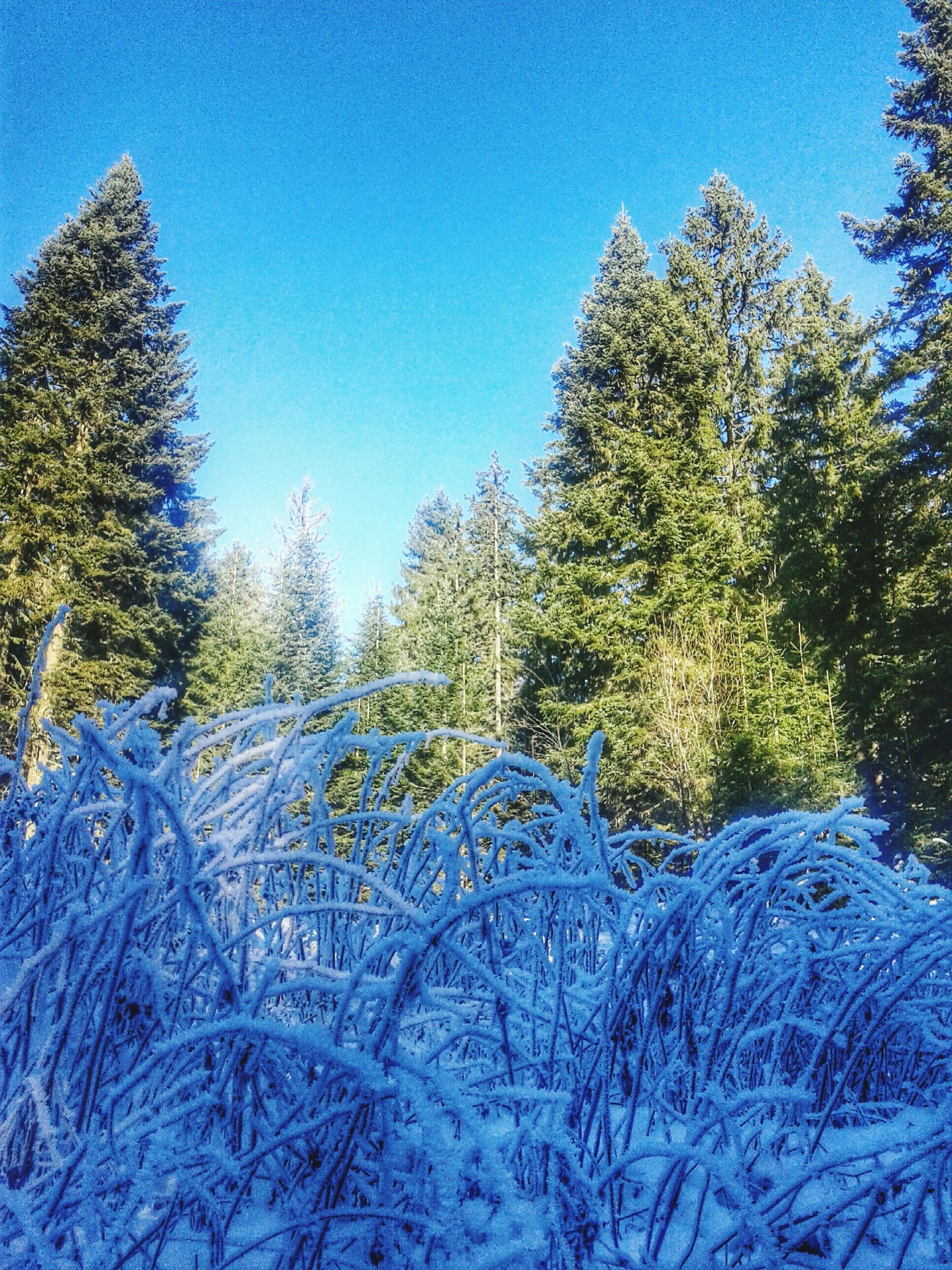 snow, winter, cold temperature, tree, blue, clear sky, season, covering, tranquility, nature, tranquil scene, beauty in nature, white color, scenics, frozen, sunlight, growth, covered, weather, day