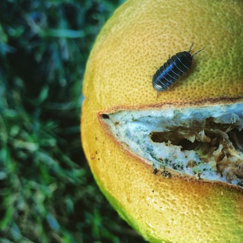 Composition and a change of perspective created the face in this one of a roly poly running around on a rotten orange. Pareidolia