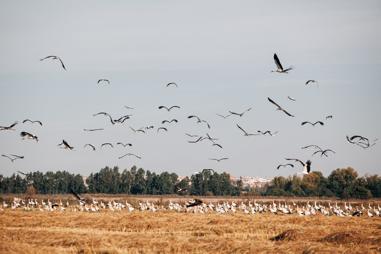Animal Themes Animal Wildlife Animals In The Wild Bird Cloud - Sky Day Flock Of Birds Flying Large Group Of Animals Migrating Migratory Birds Nature No People Outdoors Sky Stork