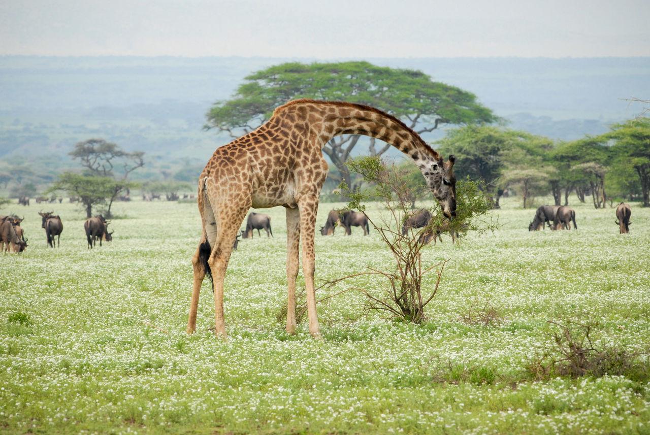 Massai giraffe in Serengeti National Park Africa Animal Wildlife Animals In The Wild Giraffe Grazing Massai Giraffe Nature Outdoors Plains Safari Safari Animals Serengeti National Park Tanzania Wildlife Wildlife & Nature Wildlife Photography