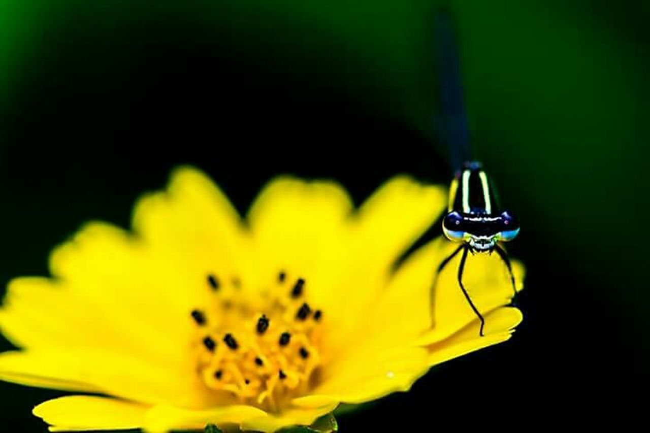 flower, yellow, petal, fragility, insect, flower head, close-up, nature, beauty in nature, no people, outdoors, growth, day, animal themes, freshness