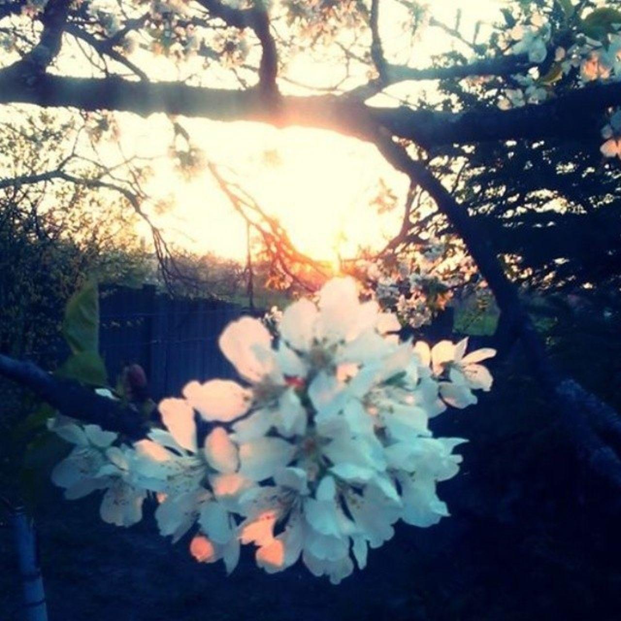 Flower Cherry Imissyou Whereismylove ? Imissthattime Goodolddays Spring Summer Sunshine Hungary Tree Home IWishYouWereHere Garden Nature Art Picture Life Behappy Dontcry Love