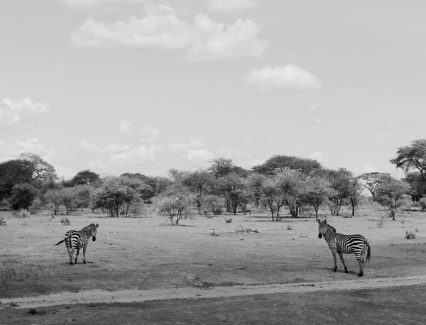 African Animals In The Wild Animal Themes Mammal Zebra Tree Nature Animal Wildlife Safari Animals Beauty In Nature Landscape Sky