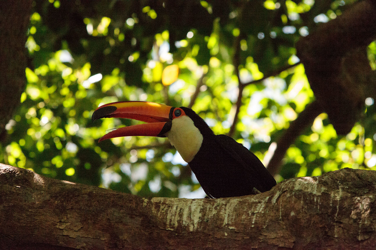 Toco Toucan called Ramphastos toco can be found in the forests of South America Large Bill Ramphastos Toco Toco Toucan Toucan Tree Bird Colorfull Ornithology  South America Tropical Wild Bird