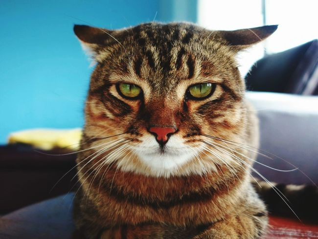 Domestic Cat Looking At Camera Pets Domestic Animals Animal Eye Yellow Eyes Animal Themes Angry Face Smalltiger Smalltiger Ocicat