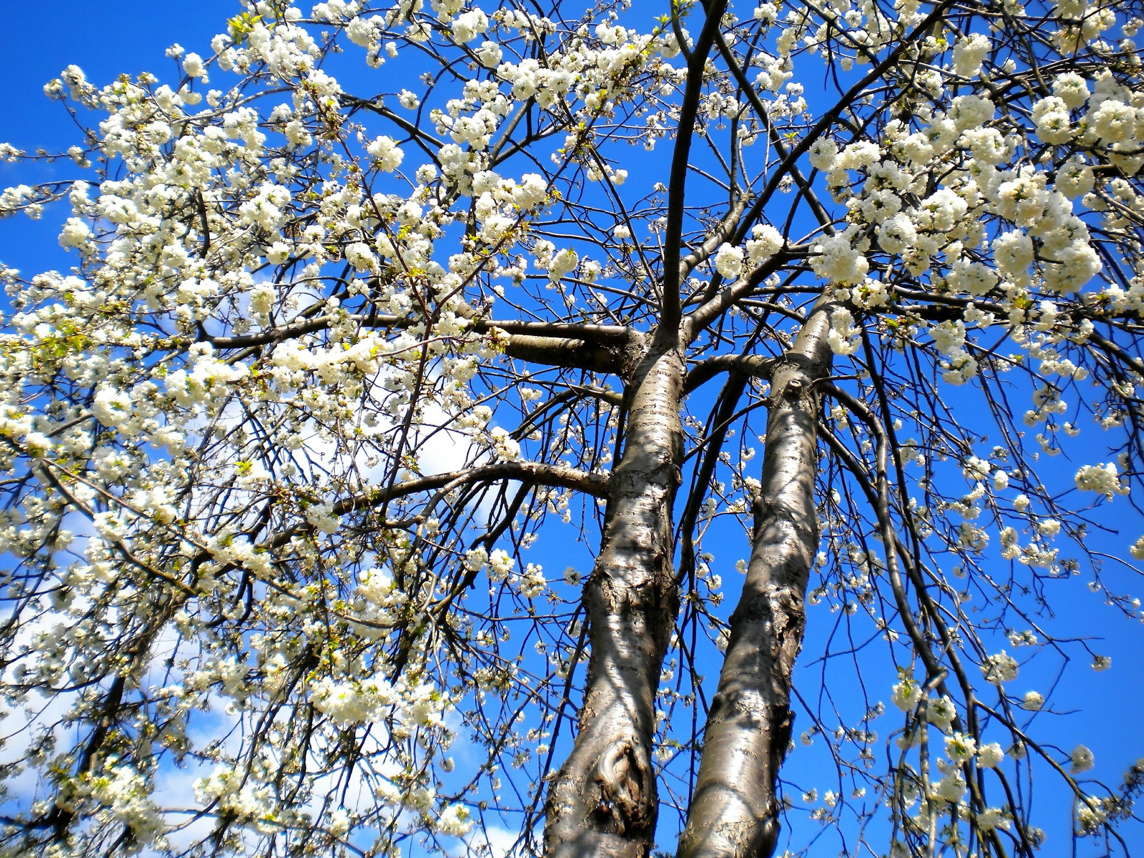 low angle view, flower, tree, branch, growth, freshness, clear sky, blue, blossom, fragility, cherry blossom, beauty in nature, nature, cherry tree, sky, blooming, springtime, in bloom, day, sunlight