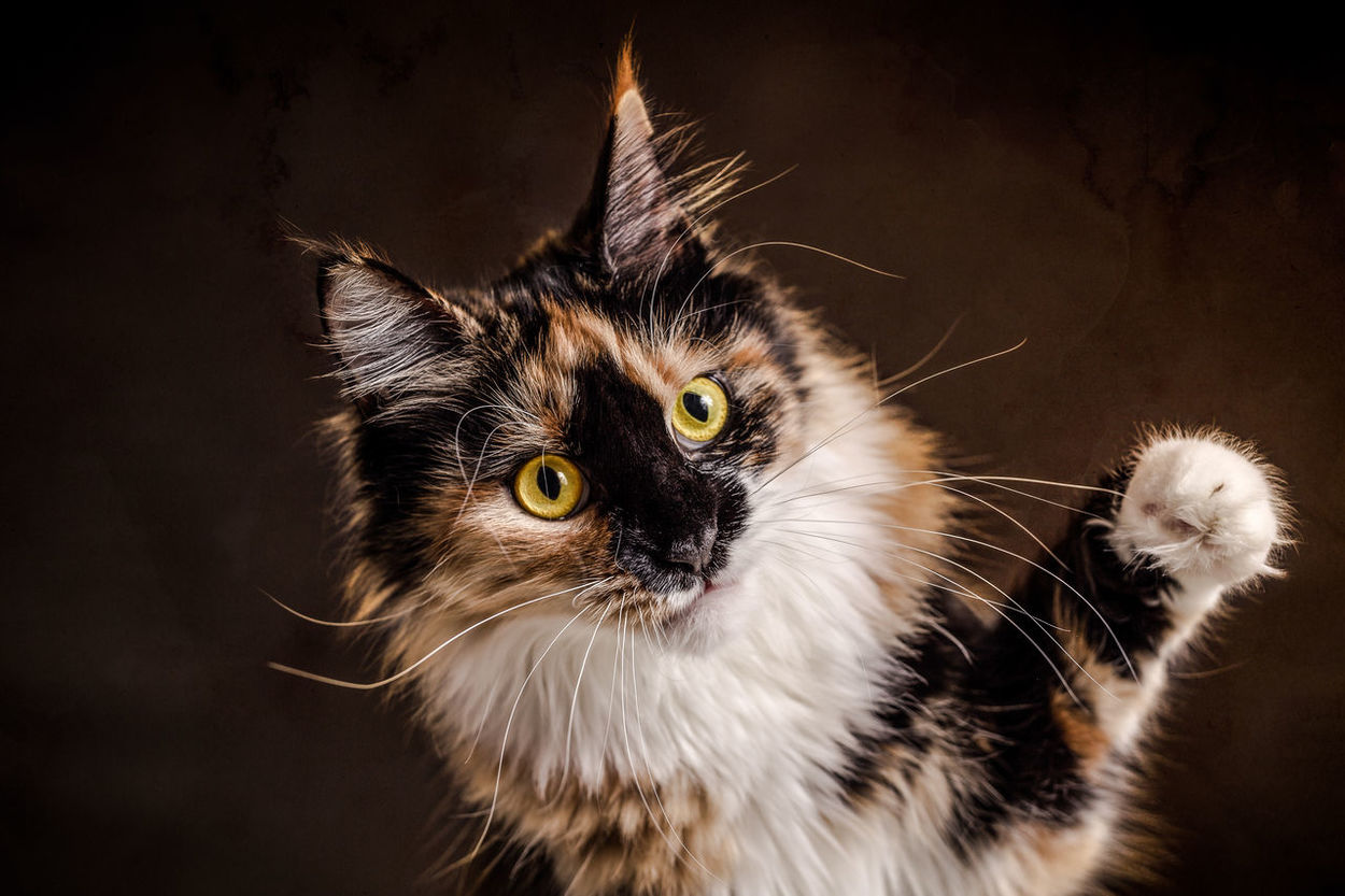 Portrait of Cat Animal Themes Cat Cats Close-up Day Domestic Animals Domestic Cat Feline Feline Portraits Indoors  Kitten Kittens Maine Coon Maine Coon Cat Maine Coon Cats Mammal No People One Animal Pet Pets Whisker
