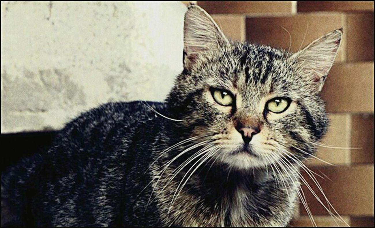 Instinct. Pets One Animal Looking At Camera Close-up Yellow Eyes Animal Eye Moment Cat Wild Instinct That Look