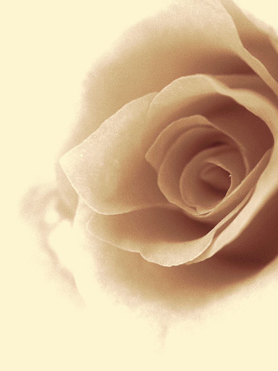 flower, petal, rose - flower, flower head, nature, fragility, freshness, beauty in nature, close-up, no people, softness, soft focus, growth, plant, studio shot, backgrounds, day, outdoors