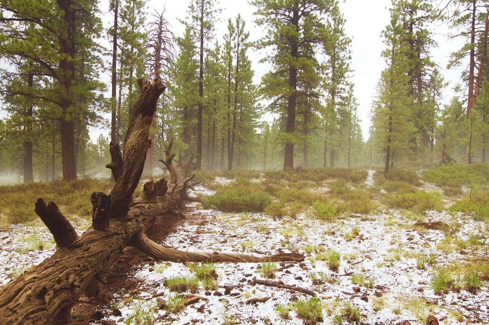 Right after a hale storm in Bryce National Park... What a weird weather during the summer! Tree Tree Trunk Tranquility Tranquil Scene Forest Scenics Nature Non-urban Scene WoodLand Beauty In Nature Branch Green Color No People Remote Tourism Outdoors Solitude Hale Halestorm Snow Utah Bryce Canyon Summer Fog Foggy
